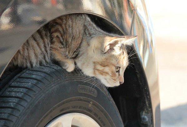 ボンネットに入り込む猫